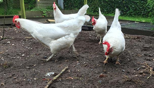 Høns spiser dræbersnegle