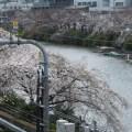 飯田橋駅から見る桜