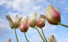 Washington Tulips from Down Under