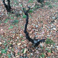 L'Horizon old vineyards showing the multicolored alluvial stones – CB