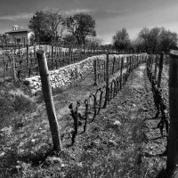 Zidarich—vineyard