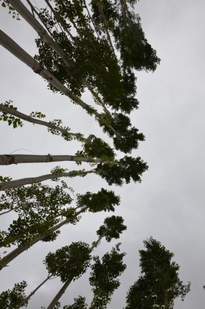 Swaying poplars