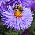 lebah hisap bunga nektar