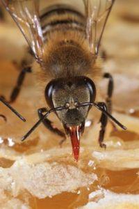 proboscis lebah untuk hisap nektar