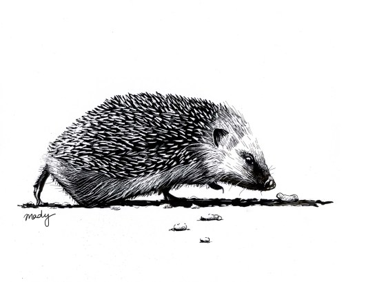 Hedgehog, Ink on scratchboard, 2019