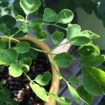 【マルンガイ(モリンガ)一か月】マルンガイの苗の栽培を始めてから一か月がたちました