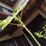 苗のネット通販が人気!マルンガイの葉っぱがじゃんじゃん出てきました!