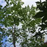 我が家のマルンガイは順調に急成長中ですが…収穫はどうする?