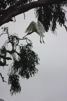 Spoon-bill Heron