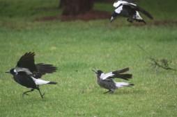 Magpies at play