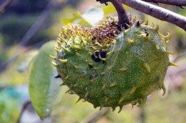 ทุเรียนเทศ | One of my favorites from South America, the soursop is a part of the custard apple family. Early research has shown that the leaves could have anti-cancer properties.