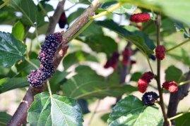 หม่อน | Ripe mulberries are dark purple, almost black, quite sweet, and hardly sour at all. One of Serena's favorite snacks.