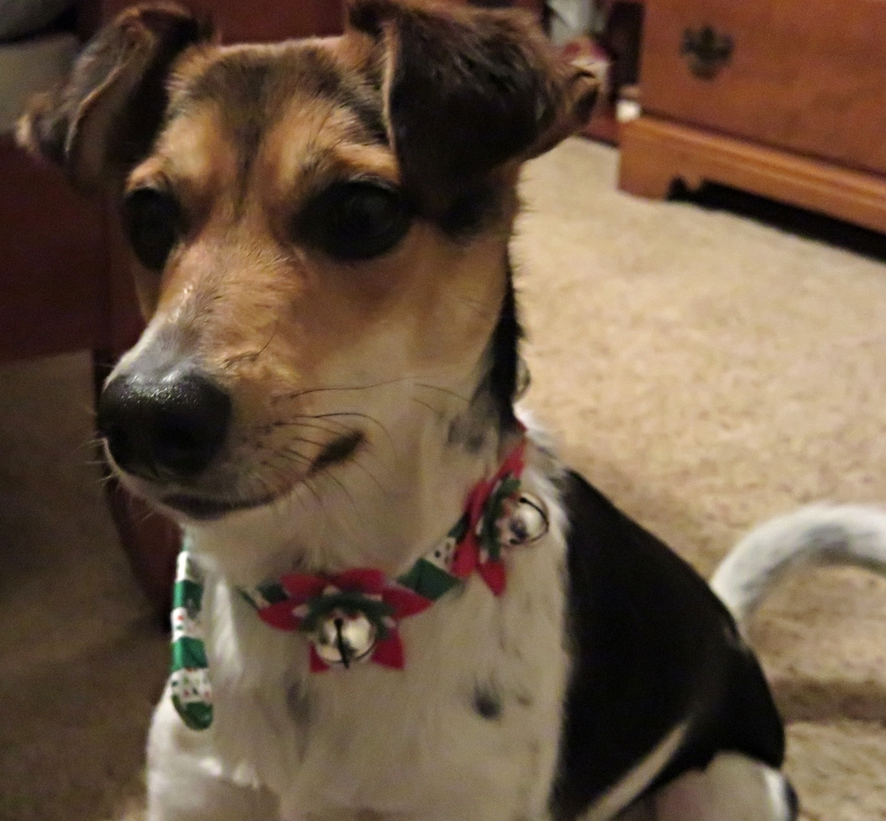 Pixie's Christmas collar, that jingles as she prances. And yes it is a little too big on her, but she doesn't seem to mind until she is ready to go to bed.