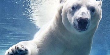 Aquário de São Paulo - Urso Polar