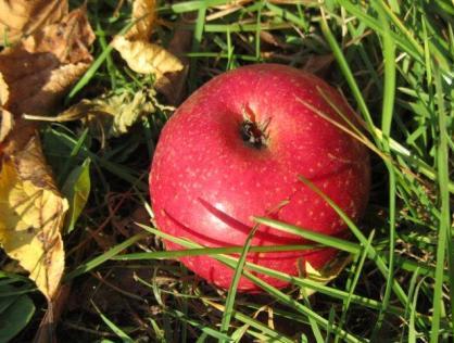 Der Apfel der Unsterblichkeit.