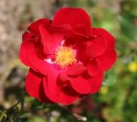 Rose rot und rose Weiß