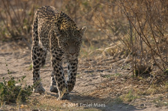 Luipaard - Savuti, Chobe National Park, Botswana