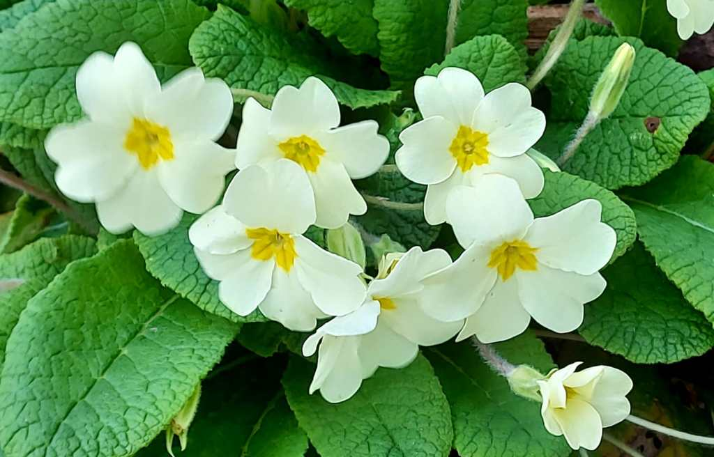 Primroses on Local walks from Maes Mynan Park | North Wales