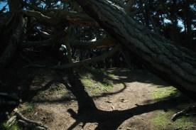 local oak