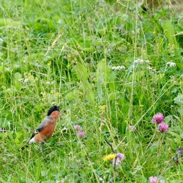 bullfinch and flowers
