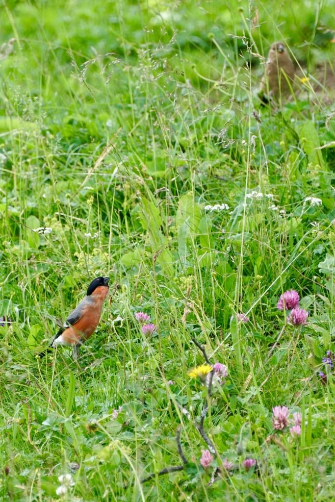 bullfinch and flowers