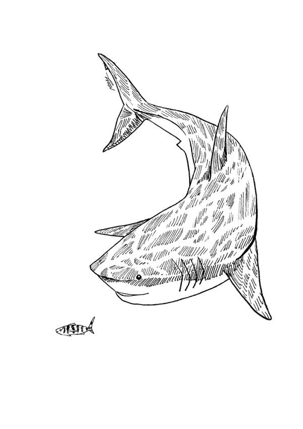 Drawing in black and white representing white shark following a tiny pilot fish