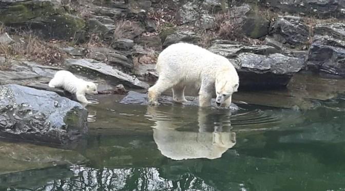 CTOUR-News: Glanzvolle Eisbärbaby-Premiere im Tierpark Berlin