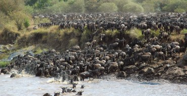 Der Verlauf der großen Migration schließt diverse Flussüberquerungen mit ein