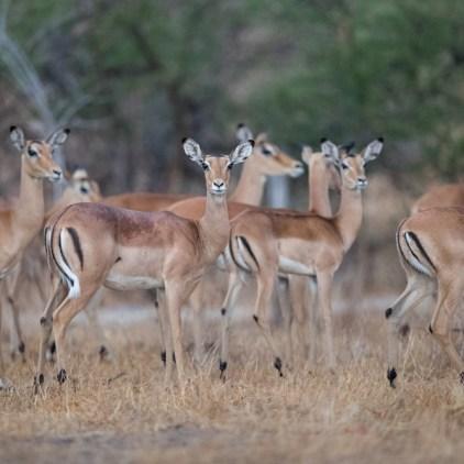 Johnston's Impala, endemic to Niassa © Will Burrard-Lucas