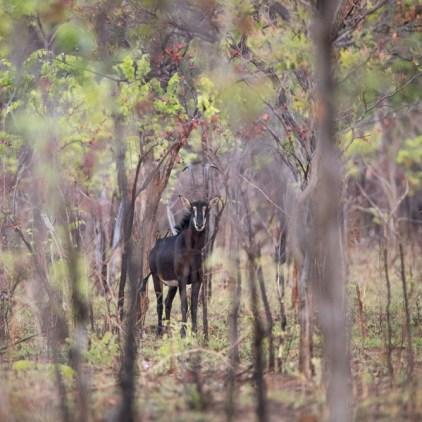 Good numbers of sable antelope roam Niassa © Will Burrard-Lucas
