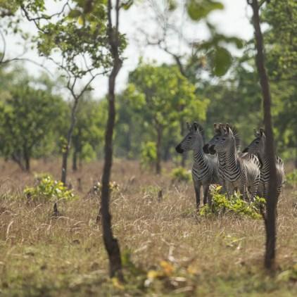 Boehm's zebra, endemic to Niassa © Black Bean Productions