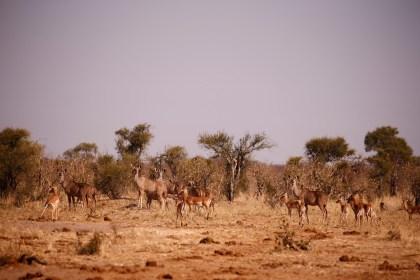 Kudus and impalas. Botswana Kalahari