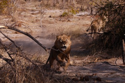Lion charge