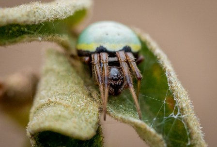 A green pea spider beginning to stretch out amidst a morning chill © Sam Cox