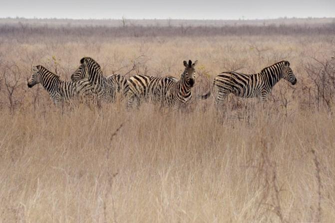 Zebras in open plains in Kruger National Park, South Africa