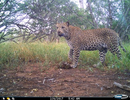 A young male leopard named Ntambo