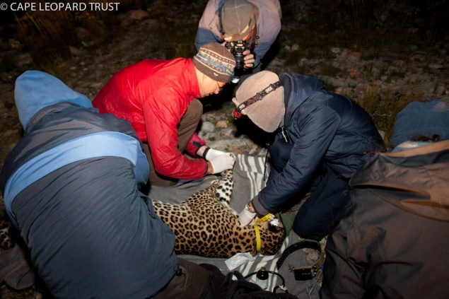 The Cape Leopard Trust research team taking measurements