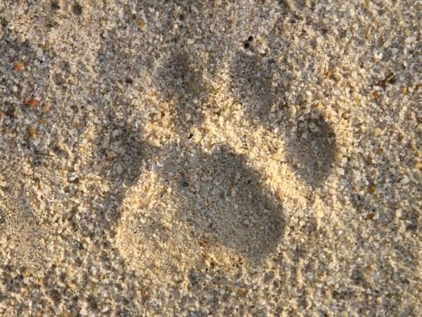 A leopard spoor