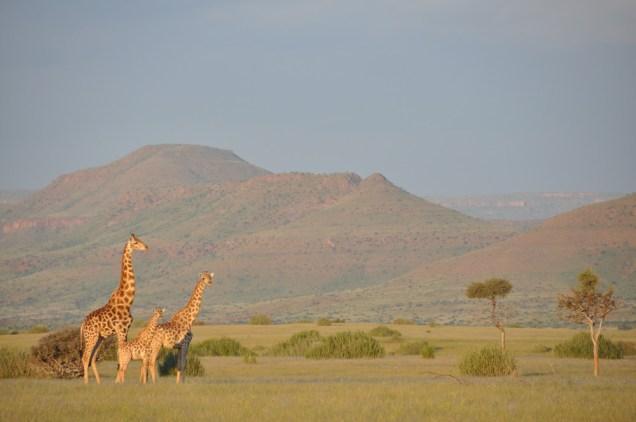 Angolan-giraffe-family-in-Damaraland
