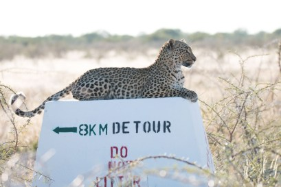 Andrea-Dekrout-A-Leopard-paused-to-rest-and-survey-his-territory-on-a-road-marker-in-Etosha-National-Park-Namibia