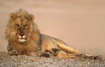 Bart-Breet-Male-lion-resting-after-feeding-on-a-giraffe-kill-in-Etosha-National-Park