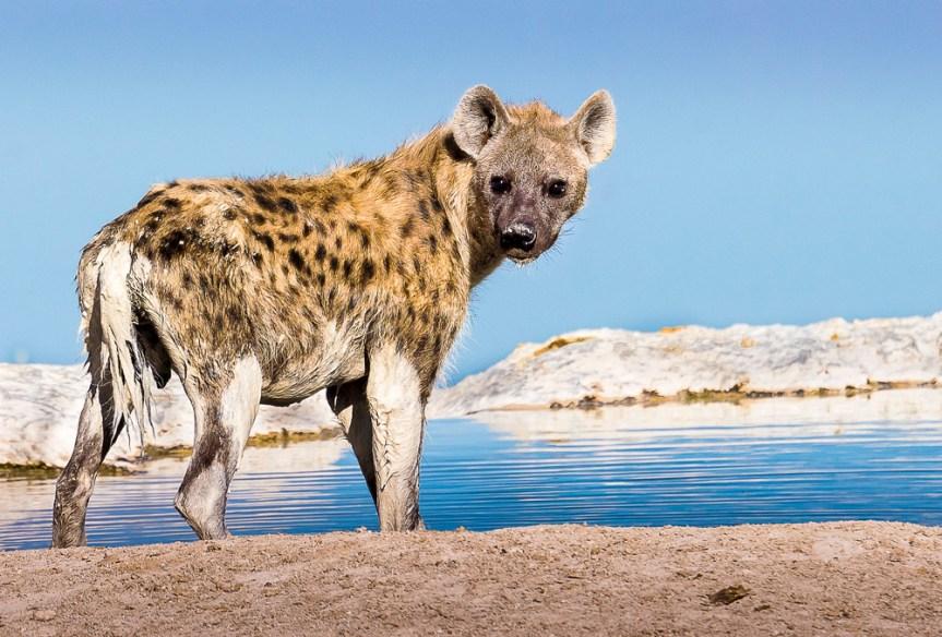 Natasha-Culver-Mud-bath-(Etosha-Botswana)