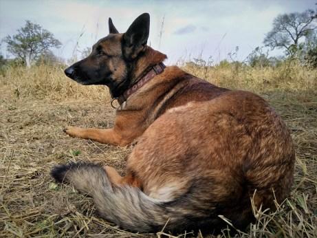 anti-poaching-dog-©-Sushil-Chauhan