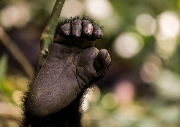 Foot of a mountain gorilla