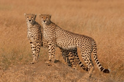 Cheetah brothers scan the Serengeti