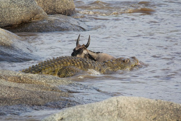 Wildebeest and crocodile in the river