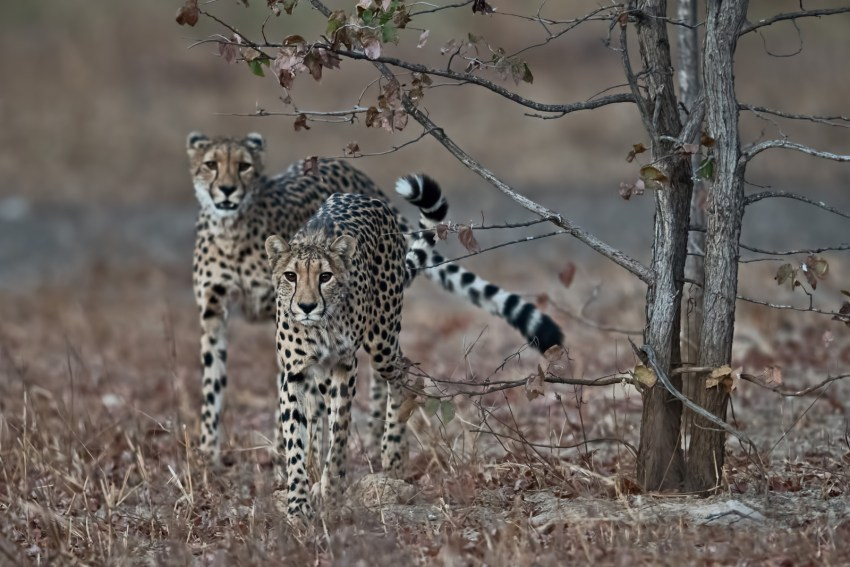 Two cheetahs on the move