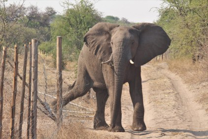 An elephant crosses a fence after having visited community land © Elephants for Africa