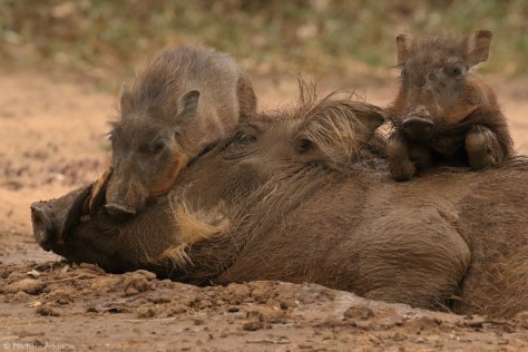Warthog piglets sleeping on mom