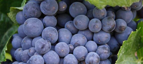 grape_variety_pinot_meunier